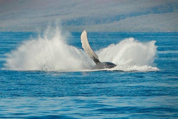 whaleMaui