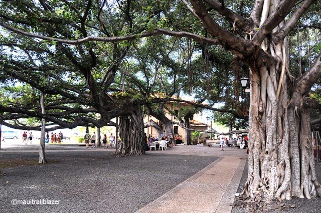 Lahaina Square banyans